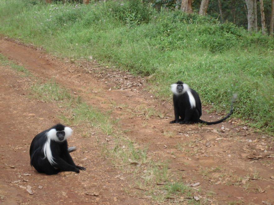Angolese franje apen, Nyungwe woud