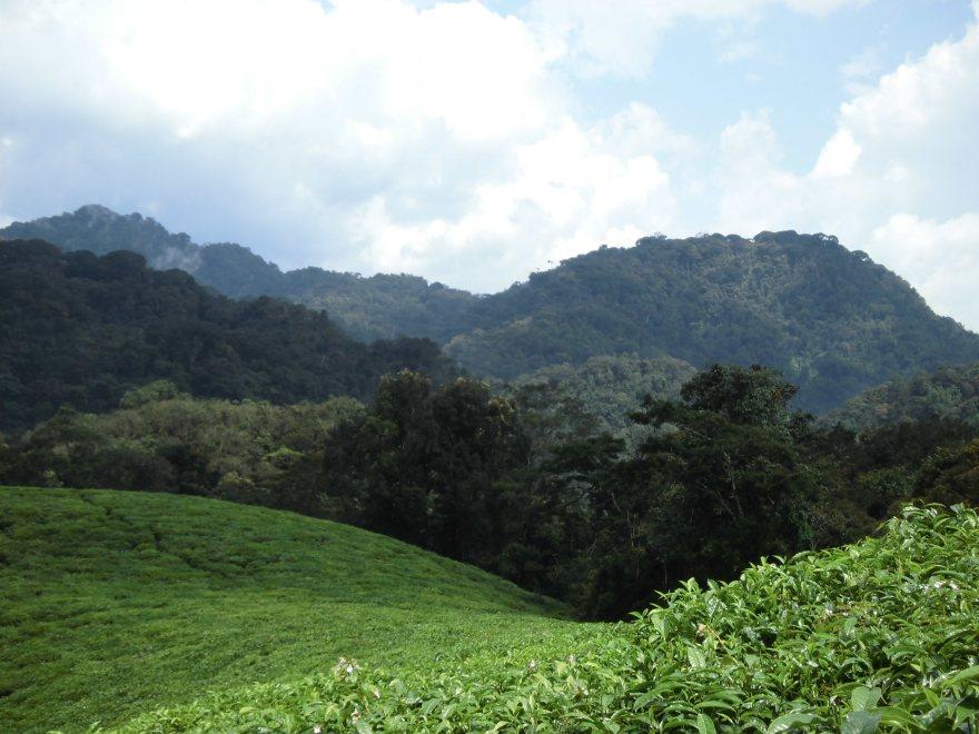 Theeplantages en op de achtergrond het Nyungwe woud